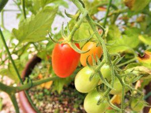 鉢植えのフルーツトマト